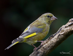 Greenfinch (StevieC-Photography) Tags: green garden finch greenfinch carduelischloris songbird steviec