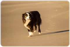 Border Collie on the Beach (waiting for its master to return from early-morning body surfing) (Craig Jewell Photography) Tags: blackandwhite beach waiting weekend australia newsouthwales boomerangbeach filename20130518081252x0k0276cr2iso400f50sec0evcanoneos1dmarkiv100300mm322023s1523232e2762013