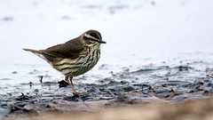Northern Waterthrush, Park Point, 05/19/13 (TonyM1956) Tags: tonymitchell duluth stlouis minnesota birds nature parkpoint sonyphotographing sonyalphadslr