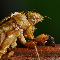 Close-up of dirt-covered empty cicada nymph shell (2013 Brood II, Magicicada septendecim, also called Pharaoh Cicada or the 17-year Locust) - 1 (Stephen Little) Tags: sooc straightoutofcamera minoltaaf100f28macro minolta100f28macro minolta100mmf28 minolta100mmf28macro minoltaaf100f28 minolta100f28 minoltaaf100mmf28 minoltaaf100mmf28macro minoltaaf100f28macro2581100 minoltaaf100mmf28macro2581100