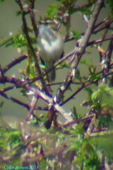 SEDGE WARBLER? (Colin Avison) Tags: water attenborough naturereserve quarry beeston nottinghamshire