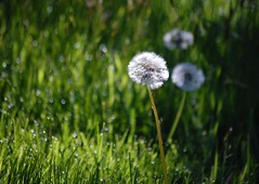 Morning dandelion (Fiona in Eden) Tags: flower grass droplets weed flora meadow dew churchyard wildflower mown dendelion