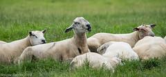 storyteller (to all the girls ---) (RCB4J) Tags: ayrshire nature rcb4j ronniebarron scotland sigma150500mmf563dgoshsm sonyilca77m2 art photography rams resting sheep storyteller tups naturethroughthelens