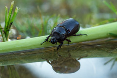 Beetle (Just_hobby) Tags: extensiontube sel50f18 a6000 sony beetle outdoor insect