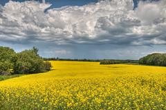 Clouds & Canola - 1 (John Payzant) Tags: cloud canada alberta strom hdr canola oilseed