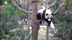 2016_08-02x (gkoo19681) Tags: beibei morningsilliness treetime treesitting dangling ccncby nationalzoo