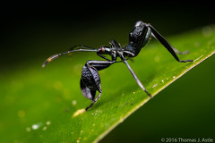 Ant Mimic Assassin Bug (Tom's Macro and Nature Photographs) Tags: macrophotography insects truebugs assassinbug hemiptera ants peru amazon rainforest mimicry