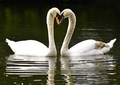 Tete a Tete, swans of St. Stephen's Green, Dublin, Ireland (Timothy Hastings) Tags: swan saint stephen green grace love romance white pond lake ireland dublin nature wildlife drake claddaugh cladaugh irish eire