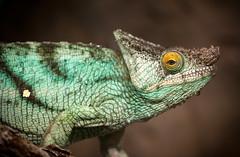 colin (macmarkmcd) Tags: chesterzoo chester chameleon nikon d300 tamron tamron70200f28