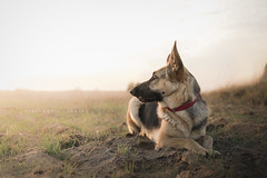 Thais (Alessandra Favetto Photography) Tags: dog dogs pet petphotography petphotographer dogphotography dogphotographer dogportrait germanshepherd outdoors horizontal color