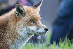 Red Fox (Dave Searl) Tags: animal british wildlife centre mammal zoo education wwwbritishwildlifecentrecouk bwc frodo redfox vulpesvulpes