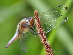 Vierfleck (Rolf Brecher) Tags: rolfbrecherberlin insekten libelle libellulaquadrimaculata vierfleck dragonfly insekt nahaufnahme makro natura