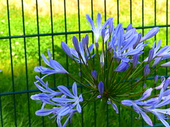Agapanthus  P1030916 (LesD's pics) Tags: flowers blooms blossom agapanthus