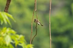 7K8A3779 (rpealit) Tags: scenery wildlife nature east hatchery alumni field hackettstown eastern phoebe bird