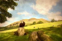 The Black Sheep (vesna1962) Tags: scenery landscape countryside rural sheep animals blacksheep lakeland lakedistrict cumbria england