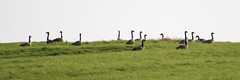 Visitors (warth man) Tags: d750 nikon70300mmvr canadageese geese vistors passingthrough southlakeland birds