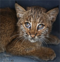 Bobcat Kitten (Tom Wildoner) Tags: tomwildoner animal bobcat kitten cat nature outdoor eyes cute fur wildlife wild whiskers scared paws environment stripes feline pennsylvania