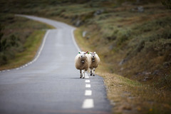 Family (Jostein Nilsen Photography) Tags: roadtrip norway telemark sheep outdoor mountains nature livestock animals