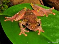 Sarayacu Treefrog, Dendropsophus sarayacuensis, Hylidae (Ecuador Megadiverso) Tags: andreaskay ecuador amazon amphibian anura dendropsophussarayacuensis frog hylidae rainforest reservaecologicatamandua sarayacutreefrog