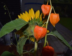 Bouqet Sunflower and Lampion 18.09 (2) (tabbynera) Tags: bouquet sunflower lampion
