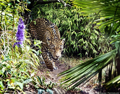 On The Prowl (mjardeen) Tags: sonya70400mmgssm sony a 70400mm g ssm leopard prowl animal cat bigcat seattle woodland park zoo a7rii a7rm2 walk stalk jungle predator pattern texture