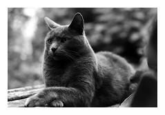 his highness (rainbowcave) Tags: cat tomcat relaxed majestic garden bench beautiful katze karter garten bank entspannt majesttisch