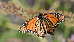 Monarch Butterfly (Raymond J Barlow) Tags: butterfly monarch nature naturallight raymondbarlow phototours flight butterflyinflight