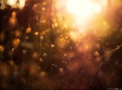 Hot days IV (Photographordie) Tags: atardecer sunset light colors samyangasphericalif85mmf14 olympuspenepm2 olympus epm2 flare glow sun sunlight verano summer hot 85mm bokeh dof beautyinnature