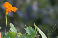 Capucine (mignon.jacques) Tags: capucine jardin tropaeolum