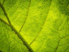 Blatt (olipennell) Tags: blatt botanischergarten mnchen nymphenburg pflanze
