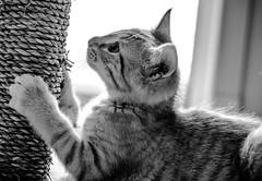 scratch scratch (-gregg-) Tags: kitten bw pet scratch post cute
