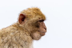 A Barbary macaque (TimOve) Tags: vacation ferie trip summer sommer gibraltar therock barbarymacaque rockape monkey whitebackground