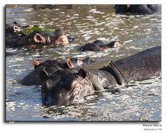 Kenya_294 (Sio ®) Tags: hipopotamo masaimara