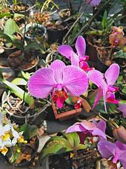 20161012_111513_HDR (Rodrigo Ribeiro) Tags: orchid orquidea jardim jardinagem garden gardening flor flores flower