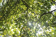 Green and sunny (ainuLIslam) Tags: green sun sunray sunshine sunlight sunny gogreen natural tree plant branch branches leaf leaves sharp dhaka outdoor