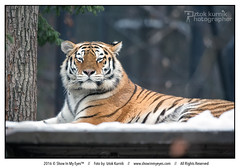 Tiger king (Iztok Alf Kurnik) Tags: animal iztokkurnik animalphotography animalpostcard cat cold kingtiger laying lazy sleepy snow tiger tigerking wildcat wildlife winter