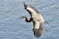 Great Blue Heron (jt893x) Tags: 150600mm ardeaherodias bif bird d500 greatblueheron heron jt893x nikon nikond500 sigma sigma150600mmf563dgoshsms specanimal