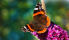 Last days of summer (Caleb4Ever) Tags: caleb4ever butterfly insect color colorful colour colourful macro nature wings flower summer pink orange green bokeh