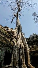 Silver Gold tree (cattan2011) Tags: phmonpenh ancientcity landscapephotography landscape angkorwat cambodia naturephotographer natureperfect nature tree
