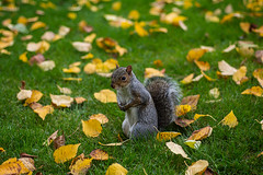 Standing Alone (fotojak1) Tags: squirrel rodent animal wildlife outdoors outside edinburghsroyalbotanicgarden scotland solitary alone leaves bushytail handheld nikond7100 micronikkor60mm f28at1800 iso200 johnritchie autumn october2016 edinburghsquirrels fotojak