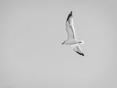 _EM15063 (fernando_garca) Tags: fernandogarcia stroglofilms anaga paisajes tenerife canarias mar naturaleza playas gaviotas pajaros fauna