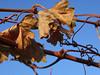 Weinblätter Braun Herbst1 (reinhard_srb) Tags: weinviertel niederösterreich rebe ranke wein weinblatt trogen verwelkt herbst weinstock winzer lese weinbauer weingarten