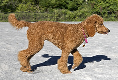 2691 (Jean Arf) Tags: ellison park dogpark rochester ny newyork september autumn fall 2016 poodle dog standardpoodle gladys