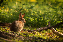 Rascally Rabbit (BlueberryAsh) Tags: woodlandspark rabbit feral woodland nikon tamron150500 nikond750 outdoor animal