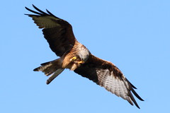 464A8064A (Cilmeri) Tags: redkite kite birds birdsofprey raptors animals nature gigrinfarm rhayader