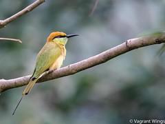 Chestnut Headed BeeEater (VagrantWings @ Shalini Singh) Tags: bird chestnutheadedbeeeater shalinisingh tilwari vagrantwings