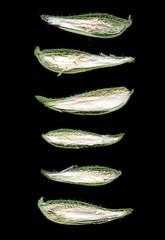 57721.01 Asclepias syriaca (horticultural art) Tags: horticulturalart asclepiassyriaca asclepias milkweed seedpods row cutpods line