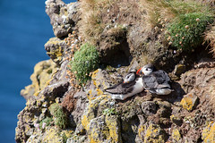 Puffin Pair _4930 (hkoons) Tags: latrabjargcliffs westfiords westfjords atlantic iceland latrabjarg bay beach birds cliff feathers fiord fjord flight fly inlet island nest nests north ocean peninsula puffin puffins saltwater sand sea seabirds surf water waves wings