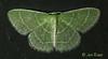 07058 Synchlora aerata - Wavy-lined Emerald or Camouflaged Looper 8 (Tucker) (MO FunGuy) Tags: 7058 synchloraaerata wavylinedemerald tuckerprairie missouri moth