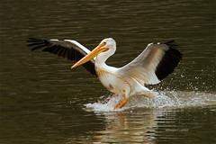 Lake Red Rock 10/1/2016 (Doug Lambert) Tags: americanwhitepelican pelican bird waterfowl landing nature wildlife lakeredrock iowa knoxville pella midwest canon6d tamron150600 water